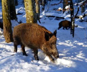Et-vildt-vildsvin